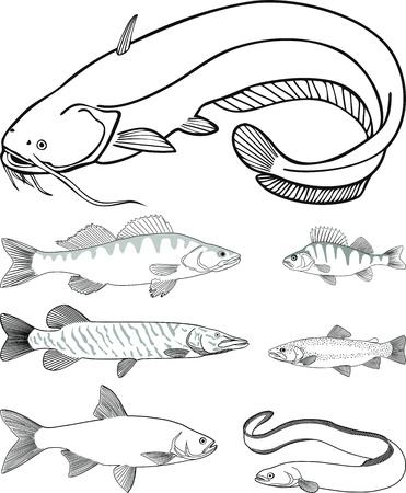 catfish, zander, perch, pike, trout, eel, asp Stock Vector - 13806408