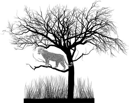lurking: vector illustration of a leopard lurking in a tree