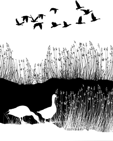 flown: Wild geese, reed, illustration, background, flown, black and white