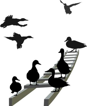 mallard duck: illustration mallard seated and  landing on the ladder