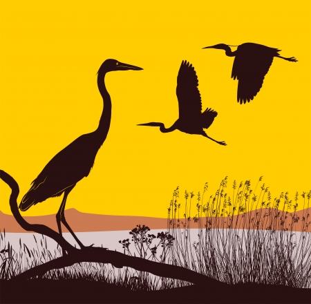 canne: aironi illustrazione sul lago al sorgere del sole