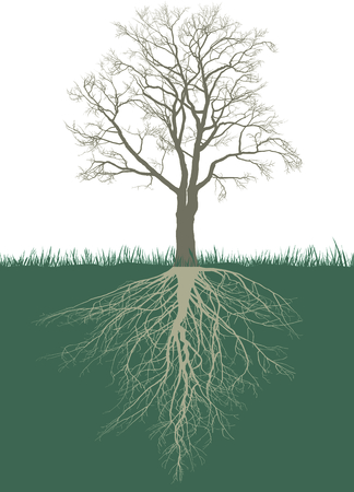 Illustration of a Walnut tree without leaves with roots