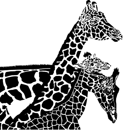 young one: vector illustration of two parents giraffe, and one young Illustration