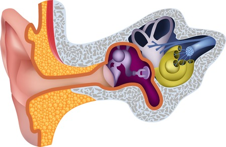 cochlea: Human ear anatomy Illustration