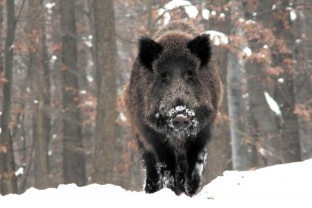 wildboar in winter