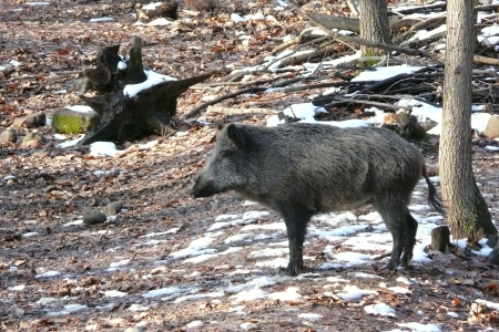 formidable: wildboar in winter