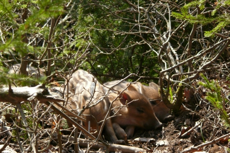 young wildboar