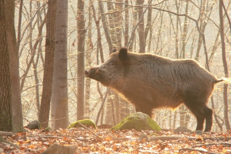 formidable: wildboar in sunset Stock Photo