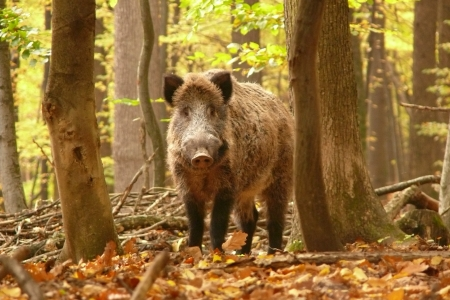 formidable: wildboar in autumn