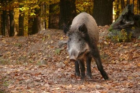 wildboar in autumn