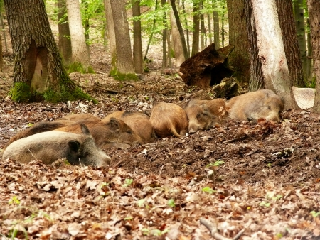 formidable: sleep wildboar