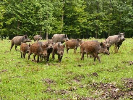 wildboar in forest meadow Reklamní fotografie