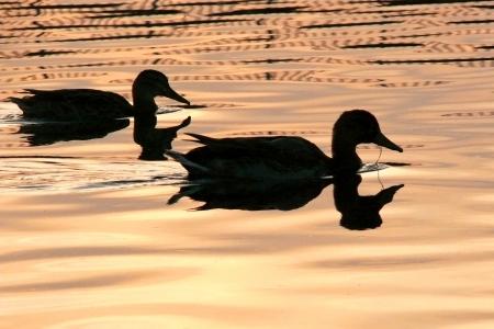 Duck in watter