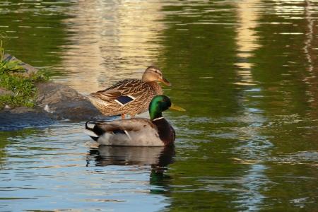 Duck - paar in river