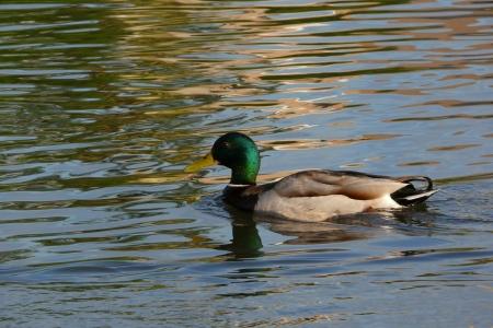 Duck Reklamní fotografie