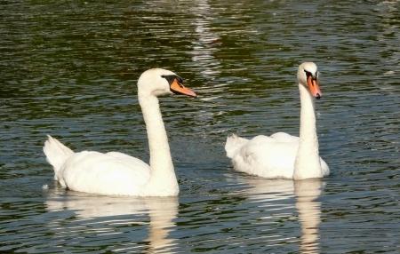 Paar swan