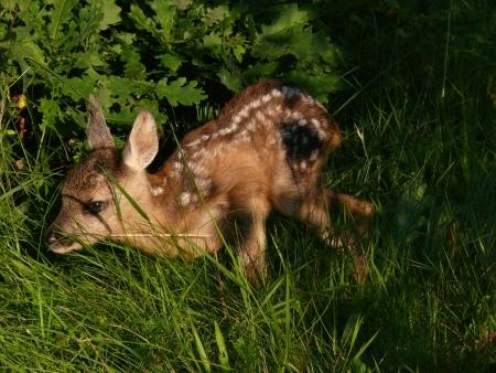 young red deer Reklamní fotografie