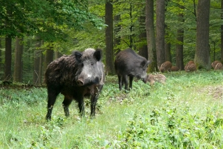 formidable: wildboar