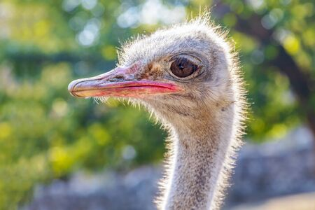 Close-up view of ostrich head. Image