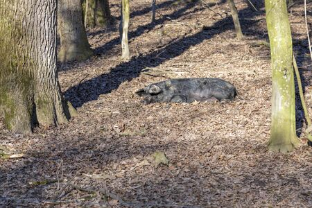 Mangalica pig sunbathing, kept outdoors in a forest. Free range pig production. Image 免版税图像