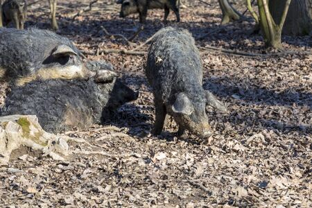 Group of Mangalica pigs kept outdoors in a forest. Free range pig production. Image