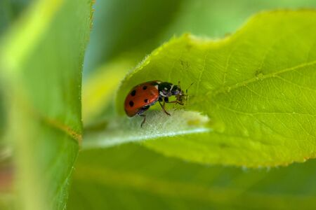 Ladybug in green leaves feeds on aphids. Stock Photo