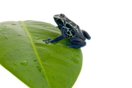 dendrobates: Dendrobates tinctorius on damp to a leaf, isolated over white Stock Photo