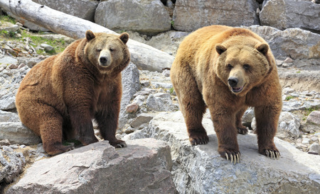grizzly bear: Grizzly bears