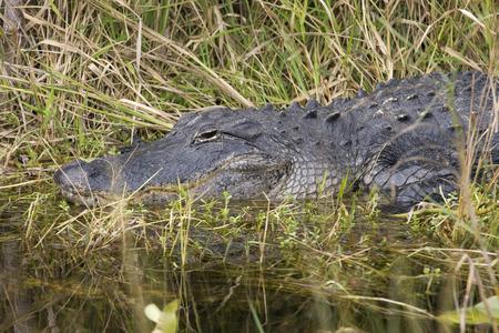 Everglades national park: Alligator in the swamp, Everglades National Park, Florida
