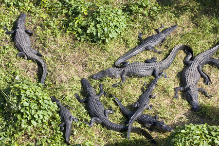 alligators: Alligators in the swamp, aerial view Stock Photo