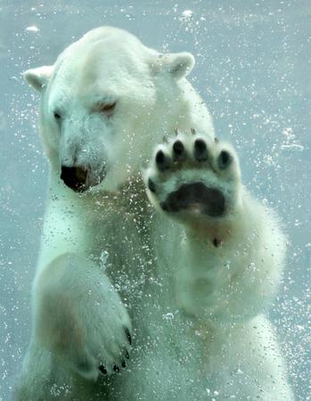 Ours polaire sous-marine Banque d'images - 50190277