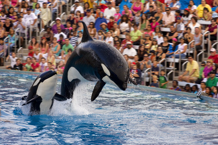 SAN DIEGO, USA - JULY 29, 2009: Killer whales show in Sea World, San Diego, CA. It is an oceanarium, and marine mammal park. 新闻类图片