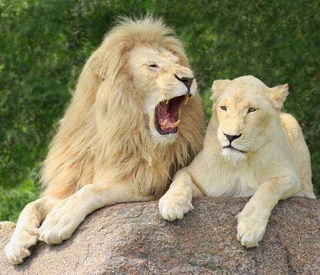 Lions Family Portrait, male with open mouth Stock Photo