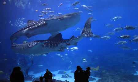 Visitors enjoying to see Whale sharks at Georgia Aquarium. It was the largest aquarium in the world from its opening in 2005 until 2012