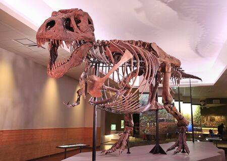 Sue, the most complete Tyrannosaurus Rex (T-Rex dinosaur) fossil skeleton in the world on display at the Field Museum