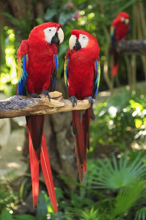 Scarlet Macaw parrots in the Riviera Maya Jungle, Mexico