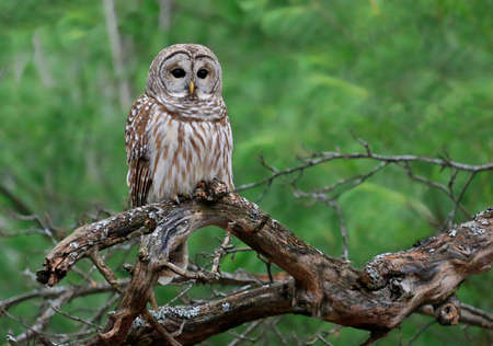 Barred Owl standing on a tree branch with green background, Quebec, Canada
