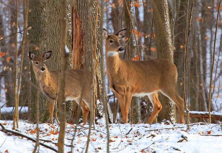 Deer family in winter forest