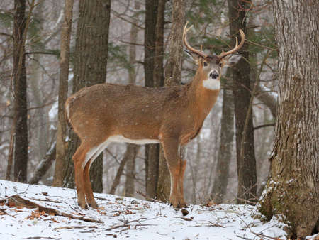 American White Tail Deer in snow forest Stockfoto
