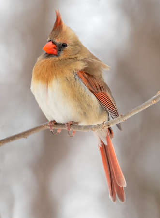 Northern Cardinal female sitting on a branch in winter, Quebec, Canada