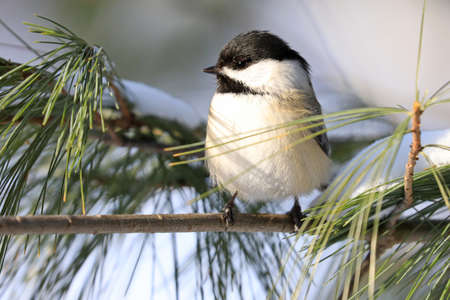 Black-capped chickadee sitting on a fir tree branch in winter, Quebec, Canada