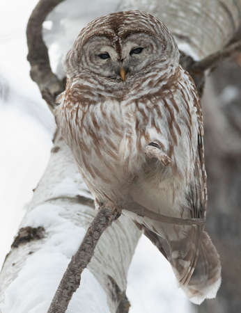 Barred Owl standing on a tree branch, Quebec, Canada