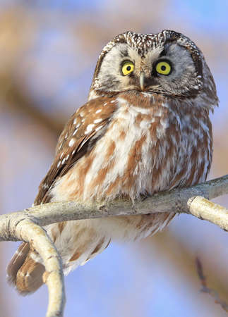 Northern Saw-whet Owl standing on a tree branch, Quebec, Canada