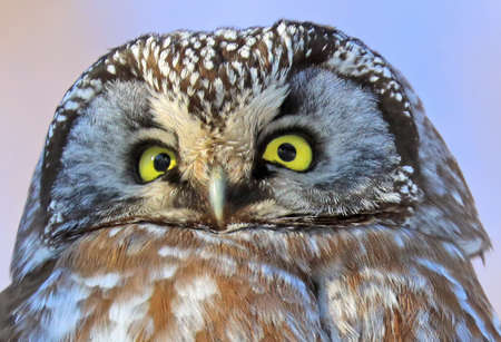 Portrait of Northern Saw-whet Owl, Quebec, Canada