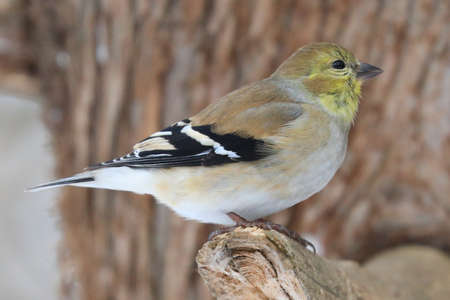 Winter Goldfinch sitting on a branch in winter, Quebec, Canada Stockfoto