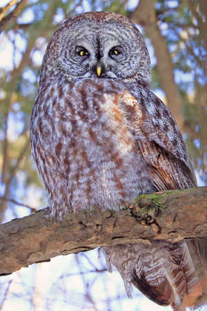 Great Grey Owl sitting on a fir tree branch in the forest, Quebec, Canada Stockfoto