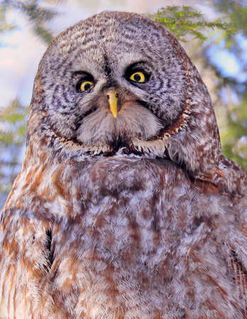 Great Grey Owl portrait in the forest, Quebec, Canada Stockfoto