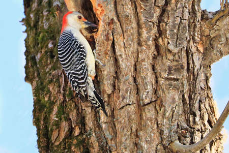 Red-bellied woodpecker sitting on a tree trunk into the forest, Quebec, Canada Stockfoto