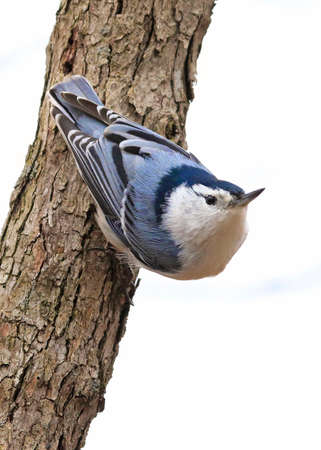 White-breasted Nuthatch sitting on a tree trunk into the forest, isolated on white background, Quebec, Canada