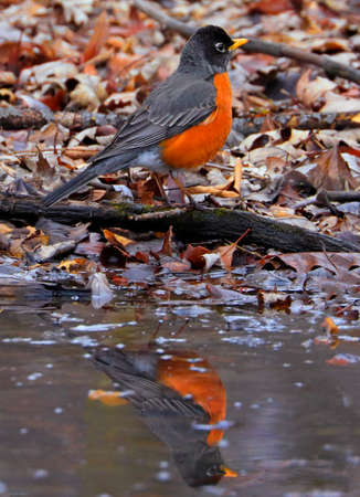 American robin reflected on pound in the forest, Quebec, Canada